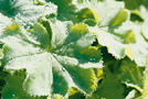 Frauenmantel, Frauenmantelkraut (Alchemilla mollis)