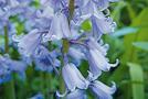 Blauglöckchen (Hyacinthoides hispanica)