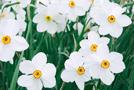 Narzissen (Narcissus-Arten)