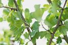 Zweigriffliger Weißdorn (Crataegus laevigata)