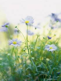 Blaues Gänseblümchen (Brachycome multiflora)