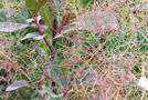 Perückenstrauch (Cotinus coggygria)