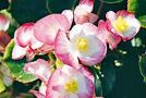 Begonie oder Schieferblatt (Begonia-Semperflorens-Hybriden)