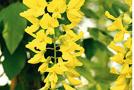 Pflanze: Goldregen (Laburnum-Arten)