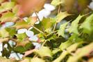 Mahonie (Mahonia aquifolia)