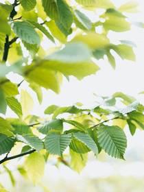 Weissbuche (Carpinus betulus)