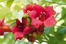 Trompetenblume (Campsis radicans)