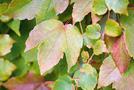 Wilder Wein, Jungfernrebe (Parthenocissus-Arten)