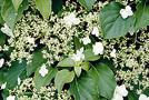 Kletter-Hortensie (Hydrangea petiolaris)
