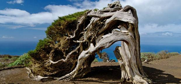 Verneigen: Die Wacholderbäume beugen sich dem Wind