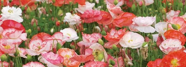 Garten: Mohnblumen Pflanzen - Tipps Für Aussaat Und Pflege ... Blumen Tipps Pflege Von Zimmerpflanzen