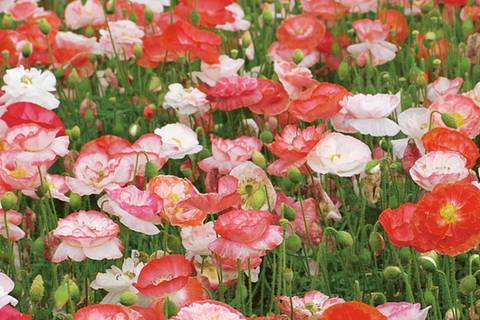 Mohnblumen pflanzen - Tipps für Aussaat und Pflege