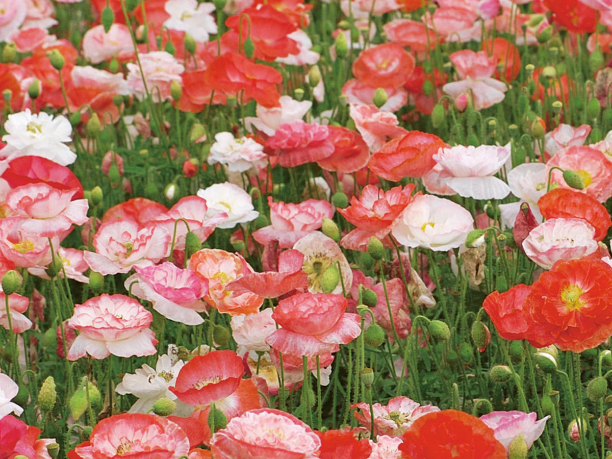 Schöne Mohnblumen - von filigran bis üppig