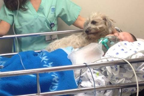 Unzertrennlich: Hündin erkämpft sich Platz in Herrchens Krankenbett