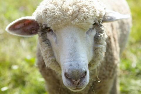 Wollige Identitätskrise: Dieses Lamm hält sich für einen Hund