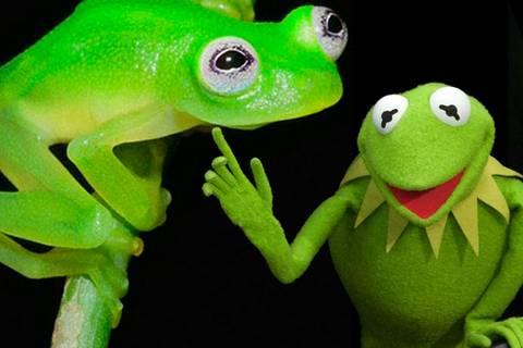 """Entdeckt im Regenwald: Es gibt den """"Kermit""""-Frosch tatsächlich!"""