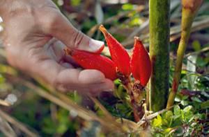 Patrice André: Die Wirkstoffe aus dem Inneren der Longoza-Früchte regen den Hautstoffwechsel an.