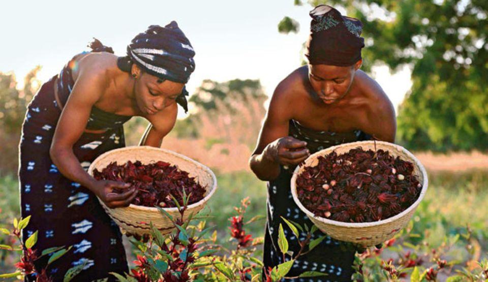 Taufrische Hibiskusblüten aus dem Garten von Koro in Burkina Faso liefern zellschützende Substanzen. Geerntet wird im September - von Hand.