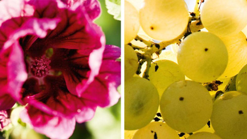 Die Extrakte der Malve wirken so, wie es die Haut gerade braucht, beruhigend oder belebend. Und sie versorgen trockene Haut mit viel Feuchtigkeit. Die Trauben vom Château d'Yquem im Bordeaux enthalten sekundäre Pflanzenstoffe, die die Hautfunktionen stärken.