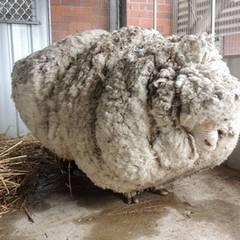 Diesem Schaf geht es an den Kragen, äh, Pelz