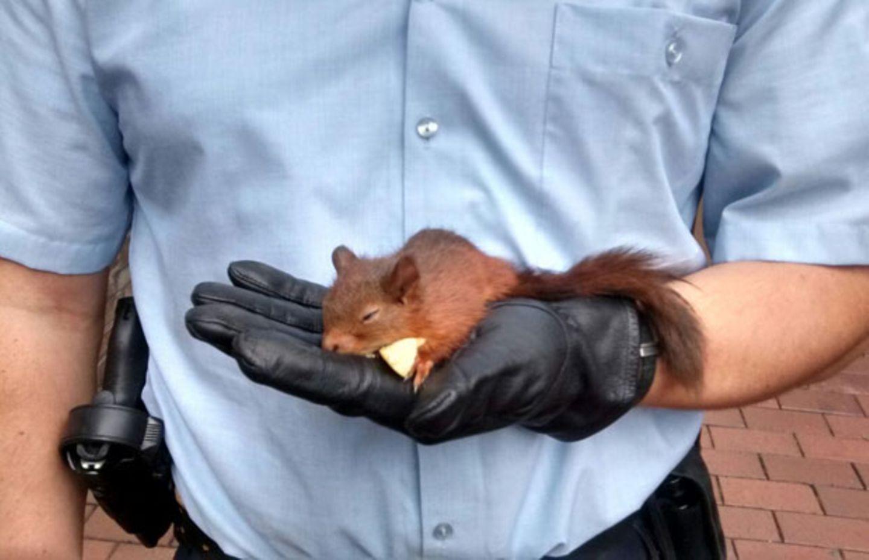 Kriminelles Eichhörnchen von Polizei in Gewahrsam genommen.