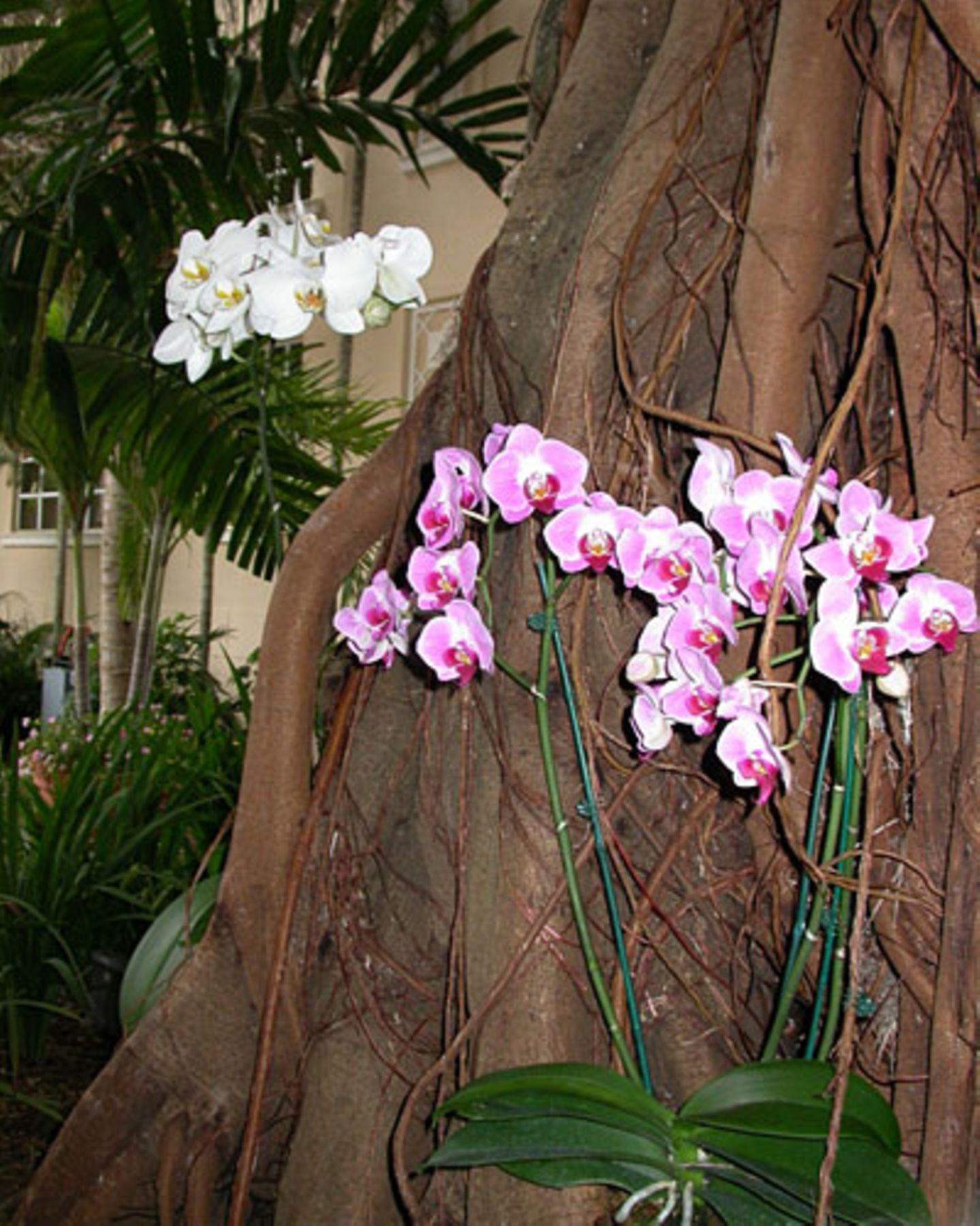 Orchideen gedeihen in dem feuchtheißen Klima Floridas prächtig – hier an einem Baum des Fairmont Turnberry Isle Hotels.
