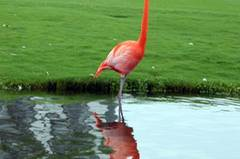 ... und sieht manchmal Flamingos, die über den Golfplatz staksen.