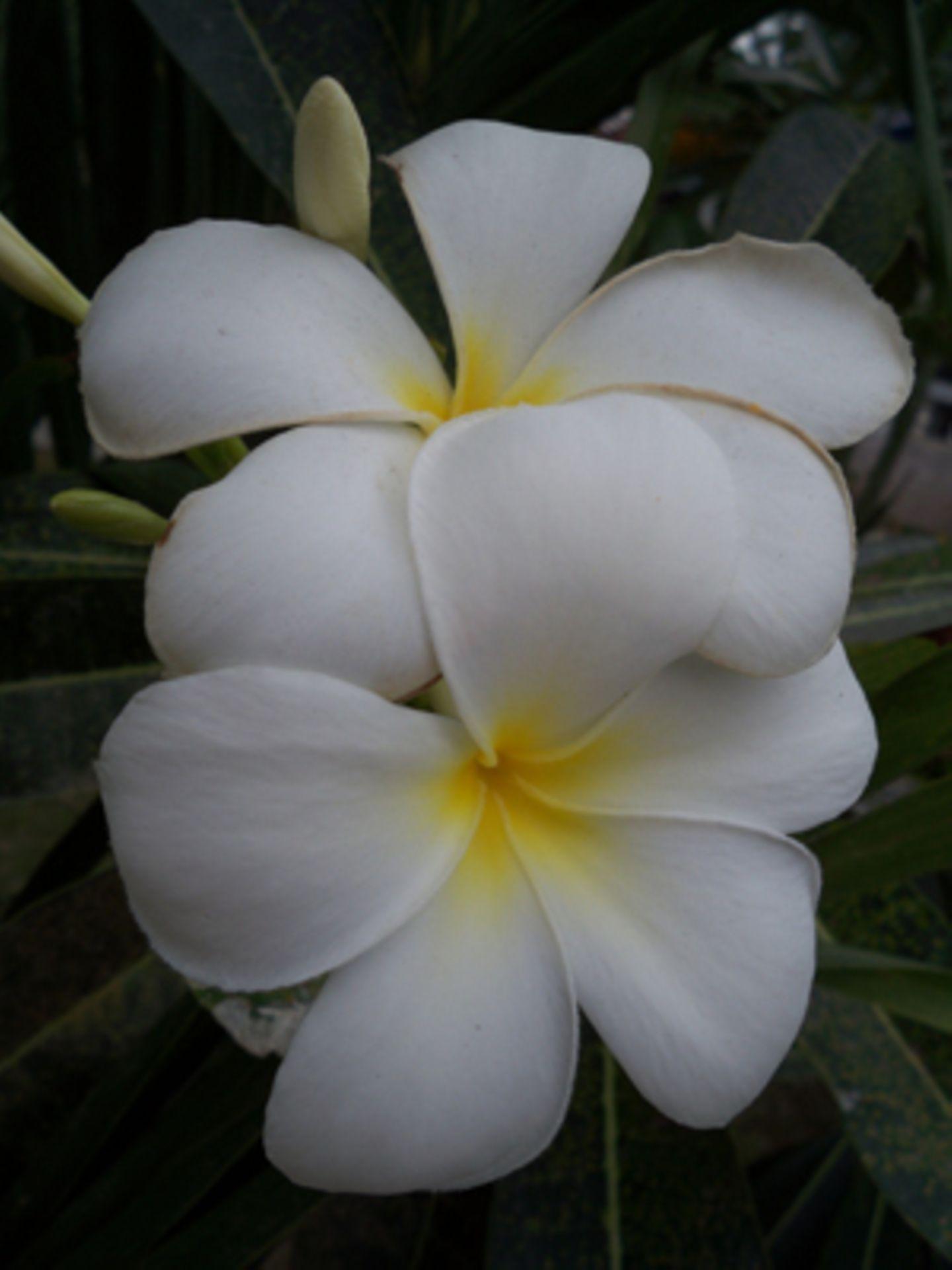 Thailand ist bekannt für seine vielen Orchideenarten.
