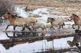 Drei Pferdeherden leben zurzeit im Sperrgebiet