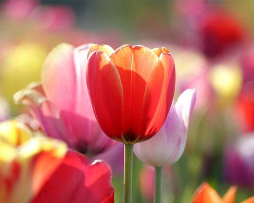 Die Bedeutung der Blumen: Tulpe