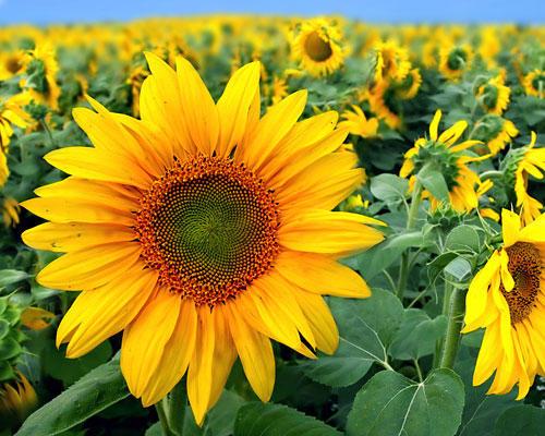Die Bedeutung der Blumen: Sonnenblume