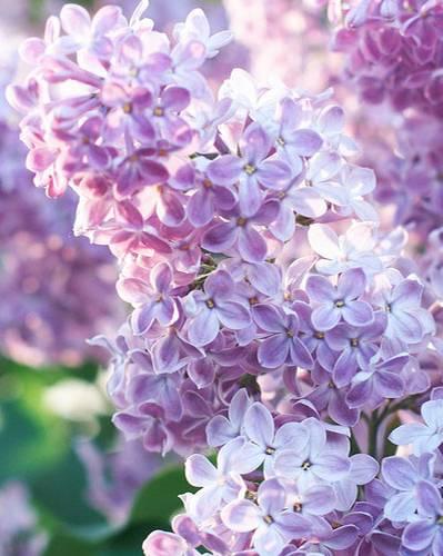 Die Bedeutung der Blumen: Flieder