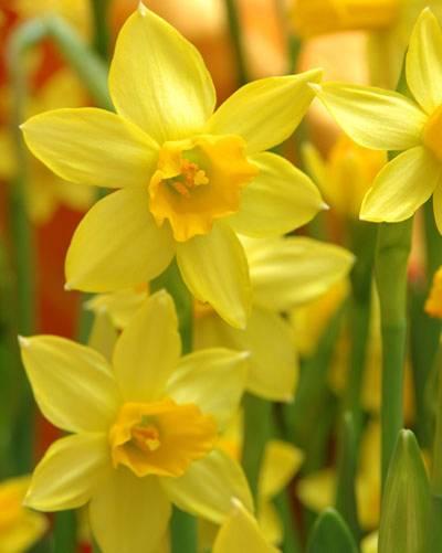 Die Bedeutung der Blumen: Narzisse