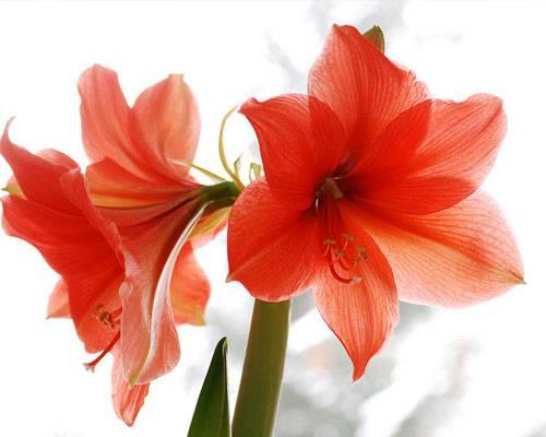 Die Bedeutung der Blumen: Amaryllis