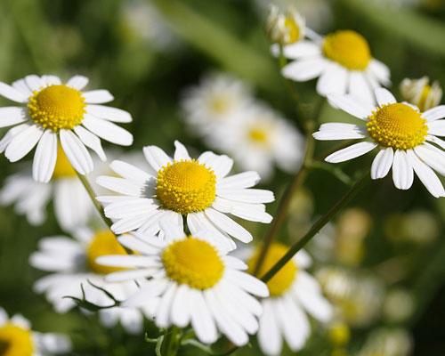 Die Bedeutung der Blumen: Kamille