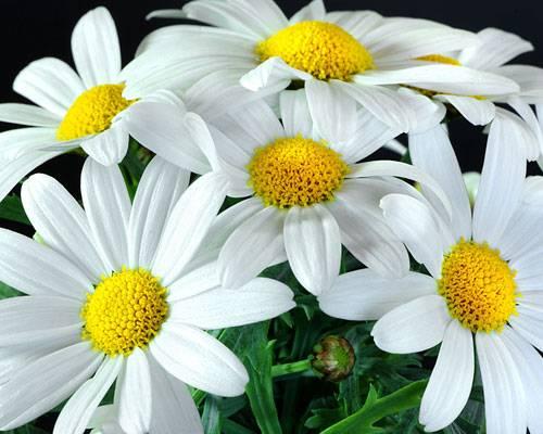 Die Bedeutung der Blumen: Margerite