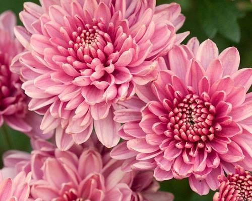 Die Bedeutung der Blumen: Chrysantheme