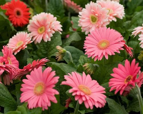Die Bedeutung der Blumen: Gerbera