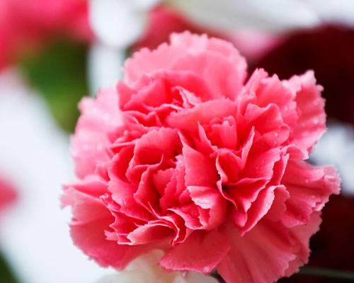 Die Bedeutung der Blumen: Nelke