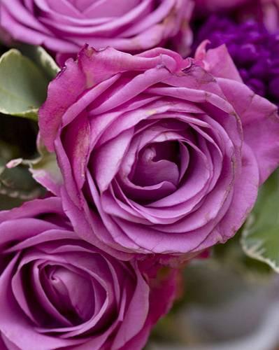 Die Bedeutung der Blumen: Rose