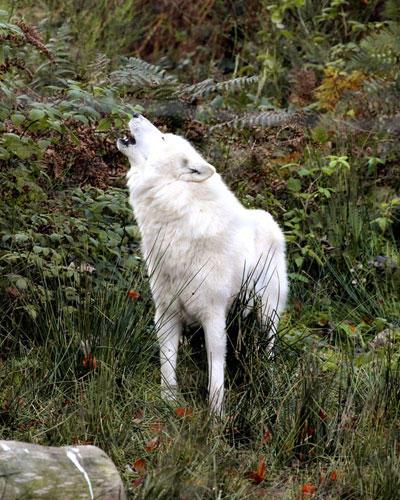 Wolfspark im Saarland