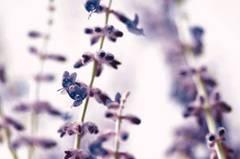 Blauraute/Silberstrauch
