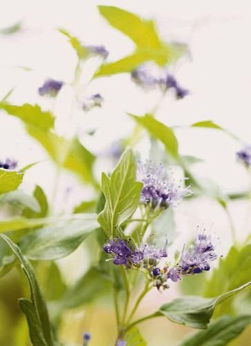 f r balkon und garten blaue blumen und pflanzen. Black Bedroom Furniture Sets. Home Design Ideas