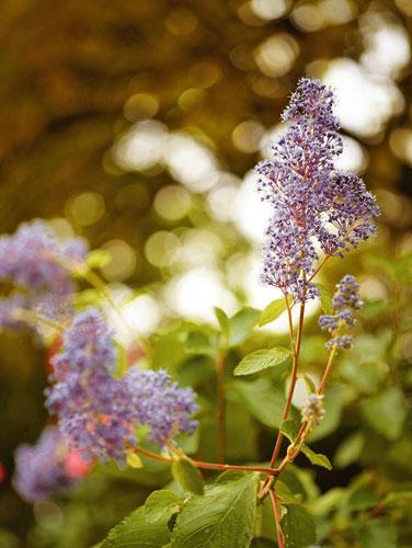 Säckelblume