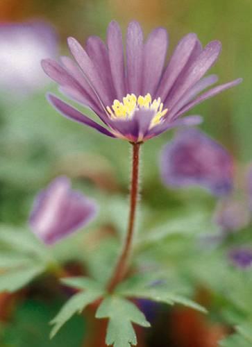 garten blumen lila, für balkon und garten: lila blumen und pflanzen | brigitte.de, Design ideen