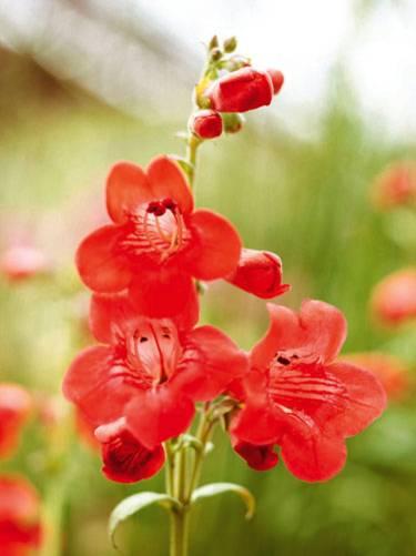 Fr balkon und garten rote blumen und pflanzen brigitte bartfaden thecheapjerseys Images
