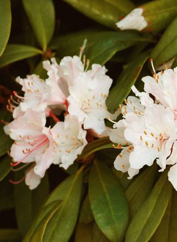 Rhododendron/Alpenrose