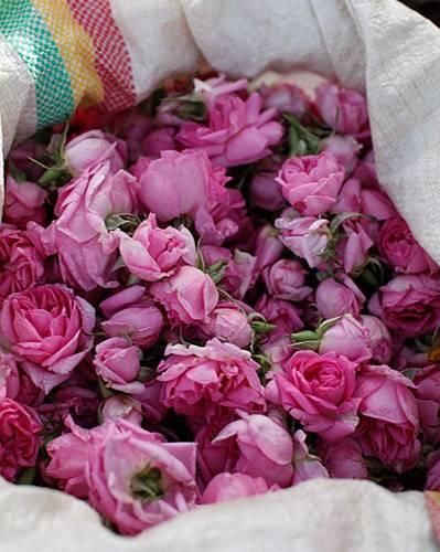 Die Ausbeute: Ein ganzer Sack voller Rosenblüten.