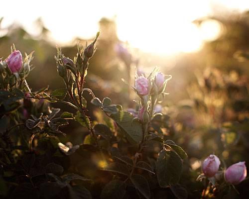 Die Erntezeit der Blüten ist im Frühling.