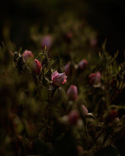 Rosen aus Äthiopien